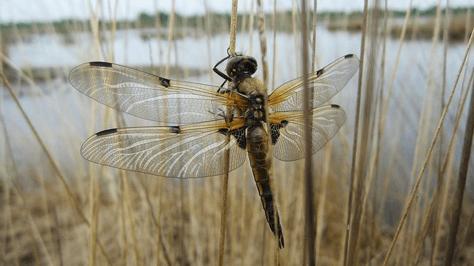 Libellule du parc ornithologique du Teich proche des campings du Bassin d'Arcachon